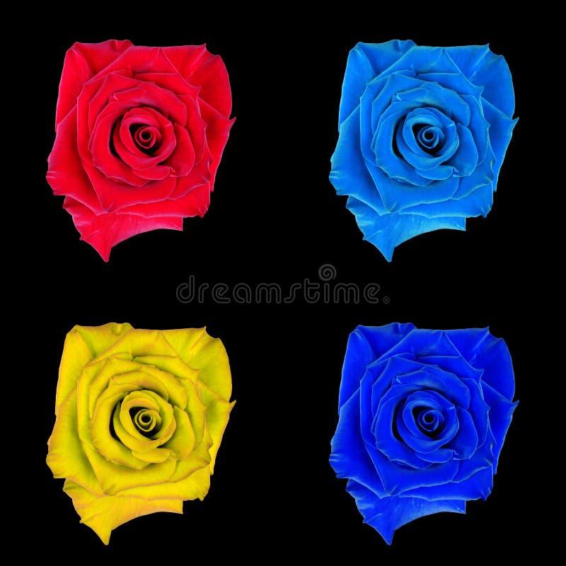 罗斯花,染黑被隔绝的背景 宏指令 桃红色,蓝色,红色,橙色 免版税库存照片