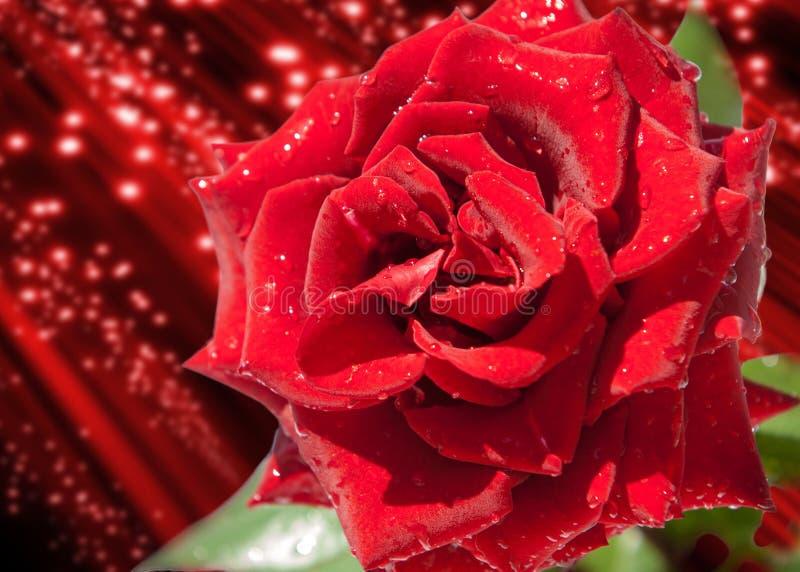 罗斯花 罗斯,罗莎 唯一美丽上升了 在花束的新鲜的英国兰开斯特家族族徽作为背景 免版税库存图片