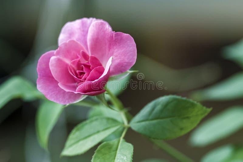 罗斯芽照片的花关闭 免版税图库摄影
