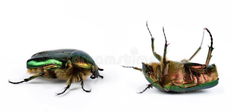 罗斯金龟子cetonia aurata 免版税库存图片