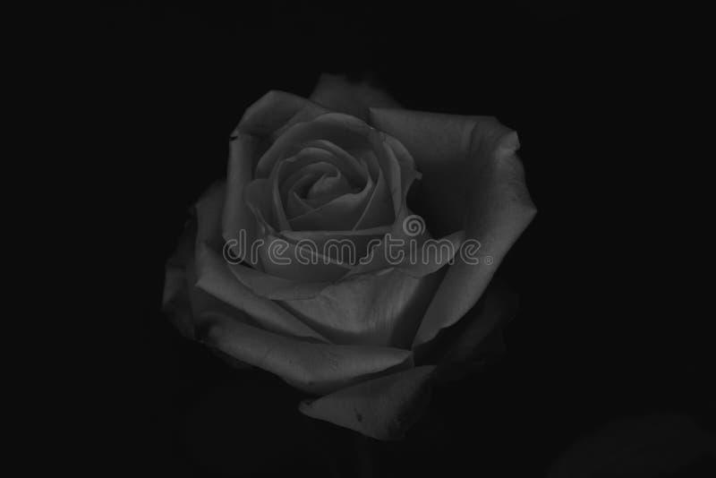 罗斯黑白色 免版税库存图片