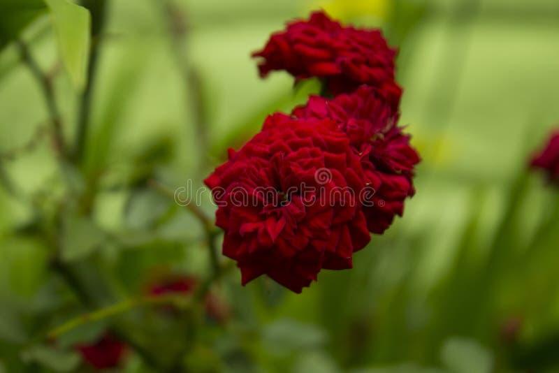 罗斯` s玫瑰 免版税库存图片