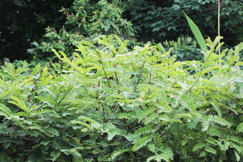 罗望子树年轻叶子  图库摄影