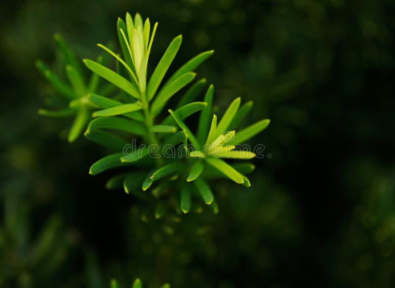 罗汗松x媒介densiformis紫杉类,密集的中间赤柏松宏观射击  免版税库存照片