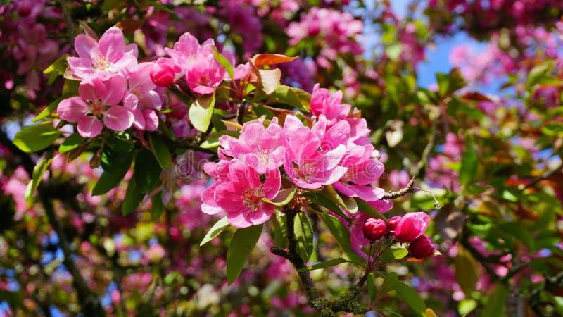 罗盘星座皇族与花的Crabapple树在早晨太阳关闭 r 免版税图库摄影