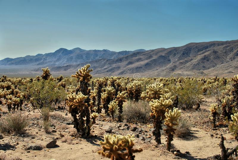 罗老岛仙人掌庭院,约书亚树国立公园沙漠,美国 图库摄影