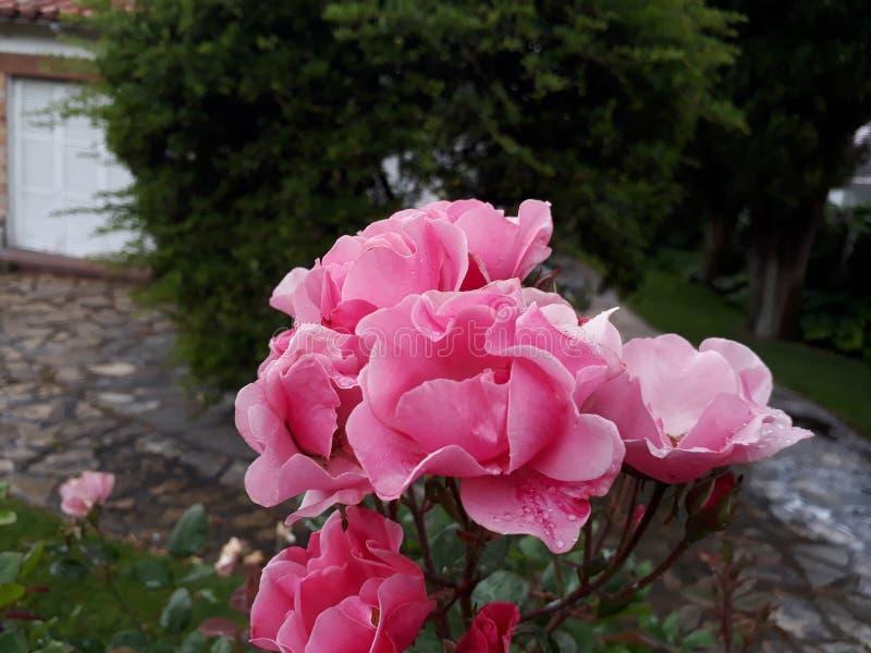 罗莎罗莎en联合国parque/桃红色玫瑰在公园 库存图片