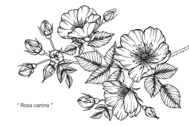 罗莎canina花图画和剪影 库存例证