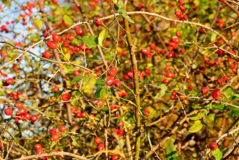 罗莎CANINA -犬蔷薇植物 免版税库存照片