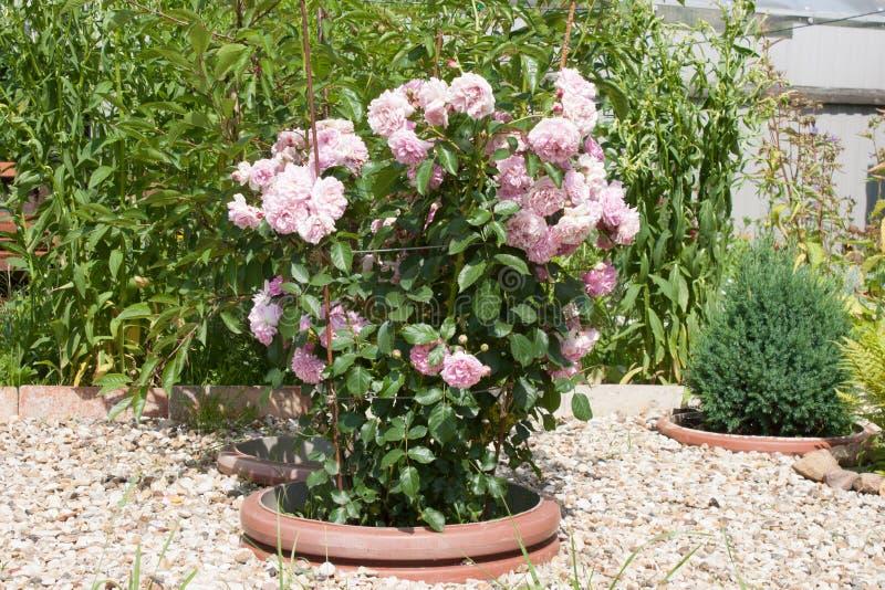 罗莎odorata桃红色灌木在花床上 水平照片的格式 免版税库存照片
