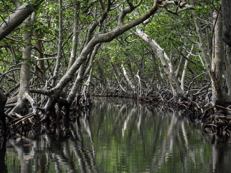 罗阿坦岛美洲红树隧道  免版税库存图片