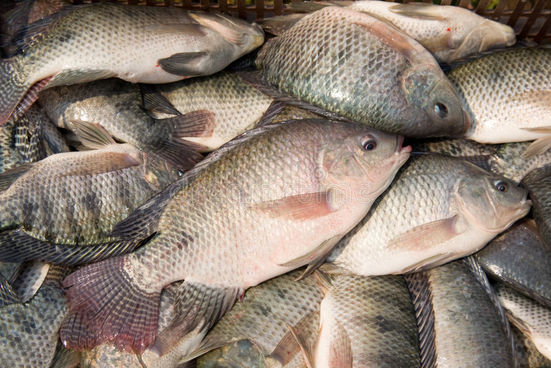 罗非鱼 库存照片