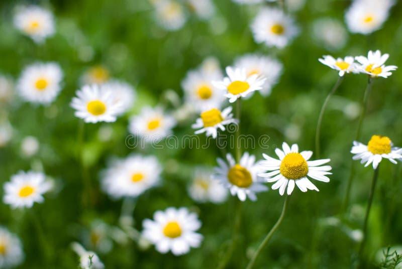 罗马春黄菊的花 库存图片