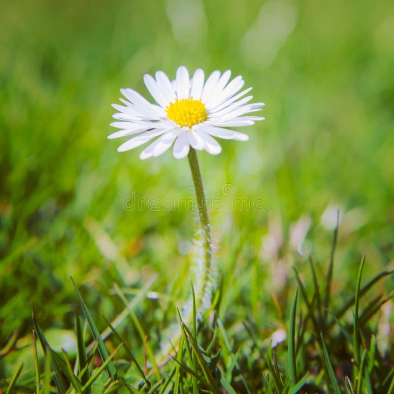 罚款种植的雏菊花 库存图片