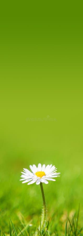 罚款种植的雏菊花 免版税图库摄影