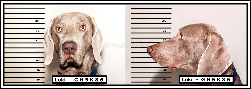 罪犯的警察照片 狗窃贼 Weimaraner由警察捉住了 滑稽的照片 免版税库存照片