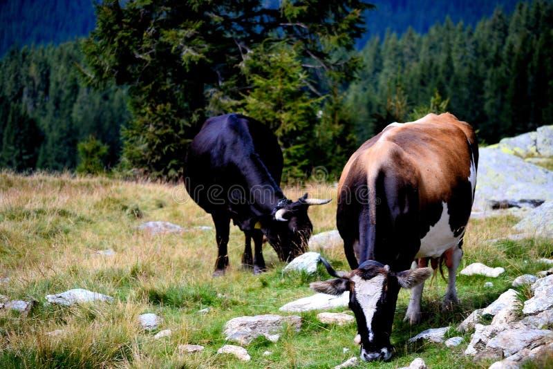 绵羊农场, Transalpina路,罗马尼亚 免版税库存照片