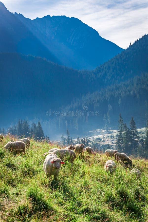 绵羊吃草在黎明的, Tatra山美妙的群  免版税库存照片