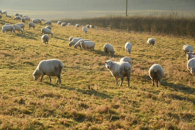 绵羊和冬天阳光低在天空 库存图片