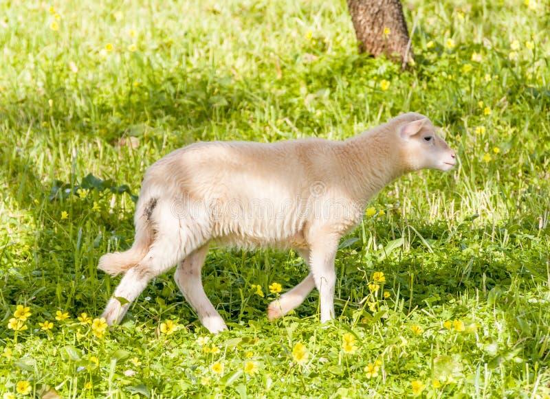 绵羊和小牛 库存图片