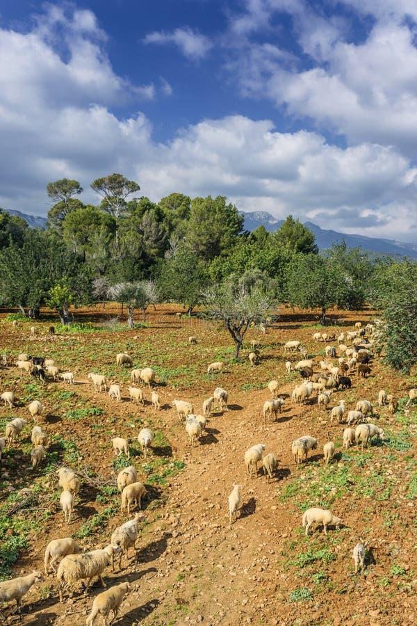 绵羊和小牛 免版税库存图片