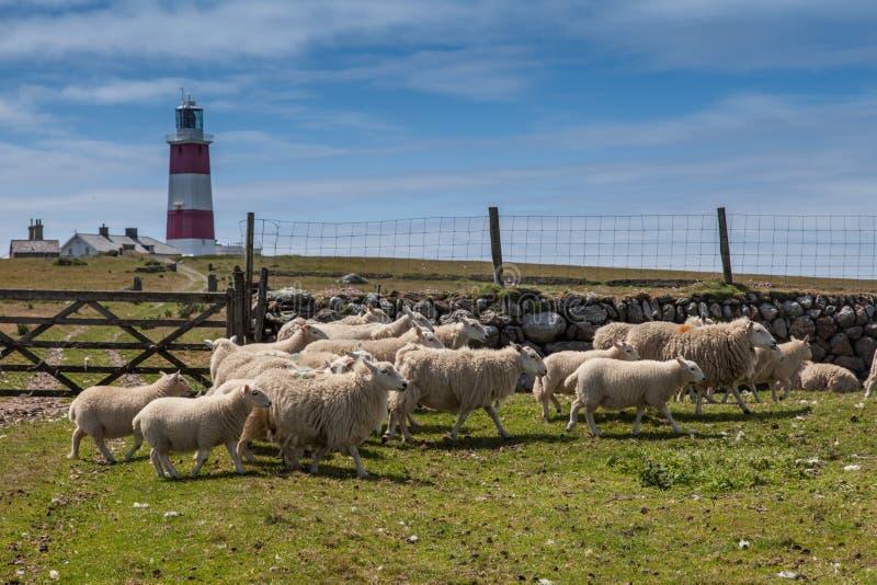 绵羊和灯塔在Bardsey海岛上 免版税库存照片