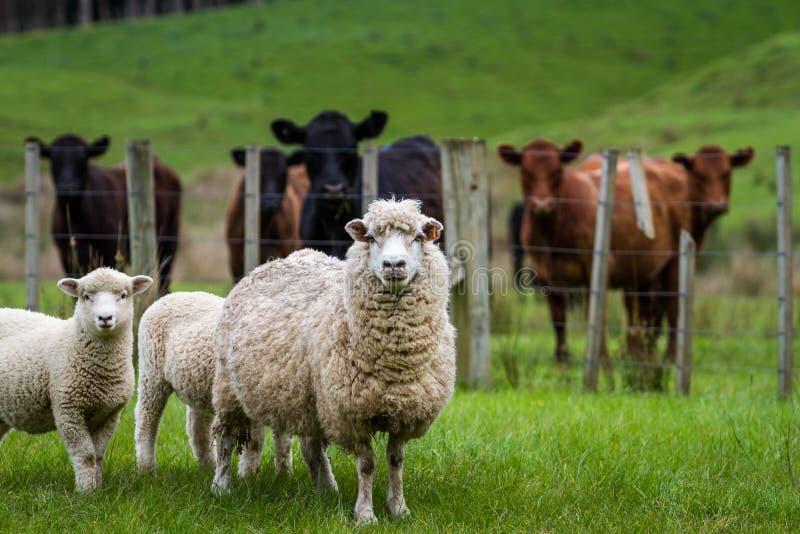 绵羊和牛 图库摄影
