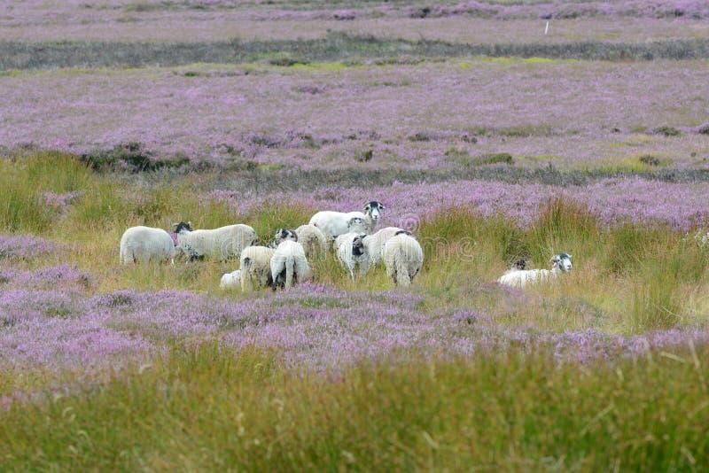 绵羊和石南花在北约克郡停泊英国 库存照片