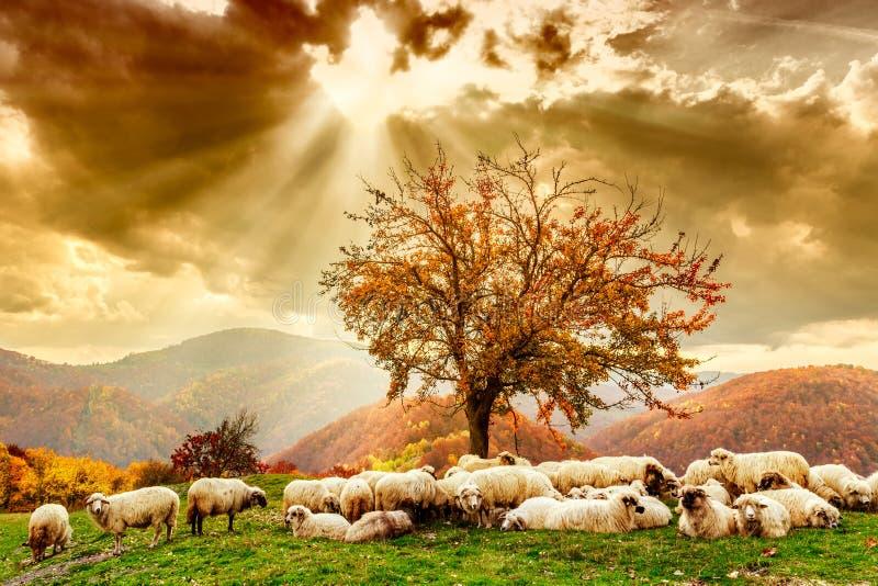 绵羊在树和剧烈的天空下 免版税库存图片