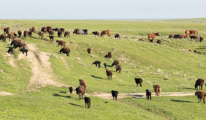绵羊在牧场地露天 免版税库存图片