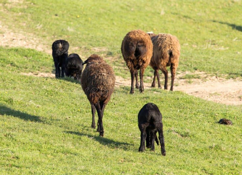 绵羊在牧场地露天 免版税库存照片