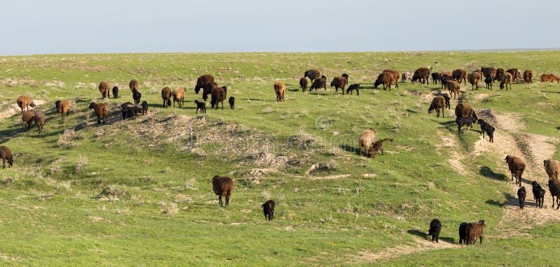 绵羊在牧场地露天 库存图片