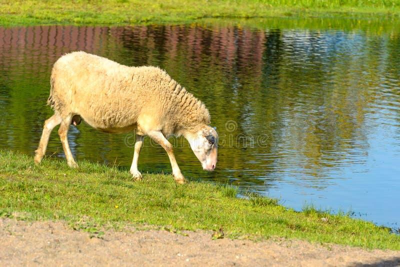 绵羊在牧场地 免版税图库摄影