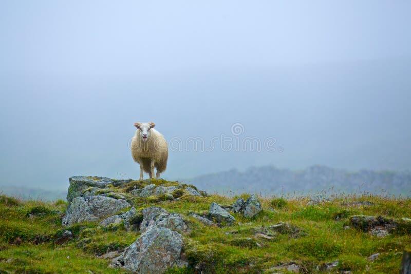 绵羊在草原 免版税图库摄影