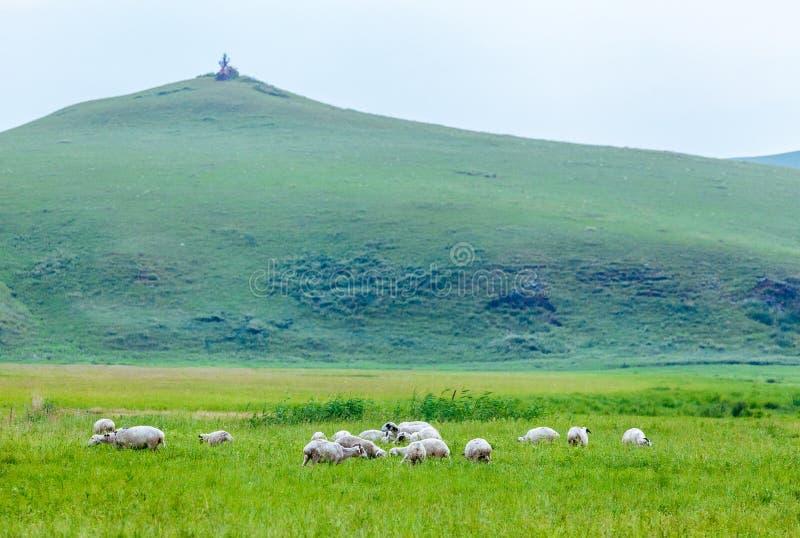 绵羊在草原 库存图片