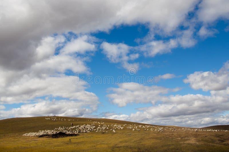 绵羊在蒙古草地 免版税库存照片