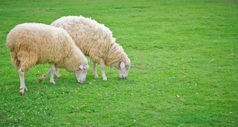 人和绵羊交配_绵羊在绿色领域农场. 草坪, 交配动物者.