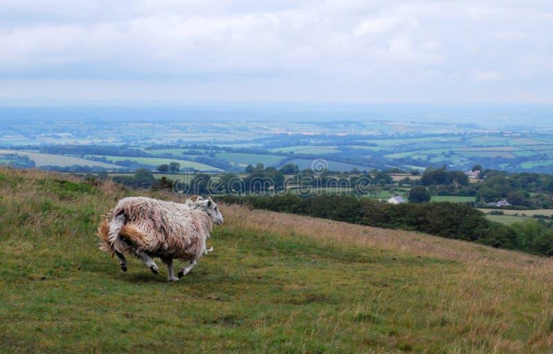 绵羊在Dartmoor国家公园 库存图片