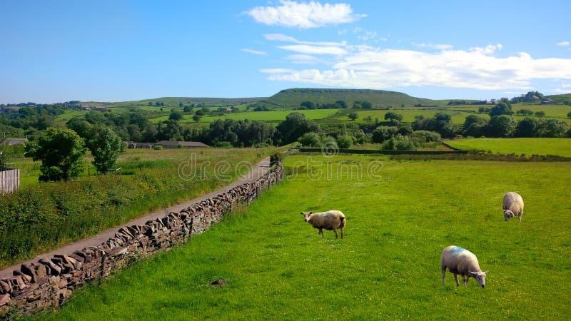 绵羊在Haslingden农庄,英国英国 免版税图库摄影