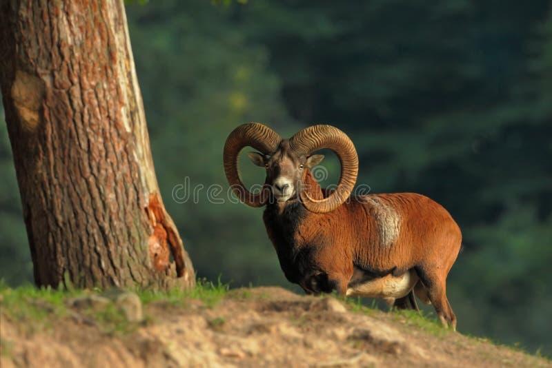 羊属musimon E 自由本质 E r 库存图片
