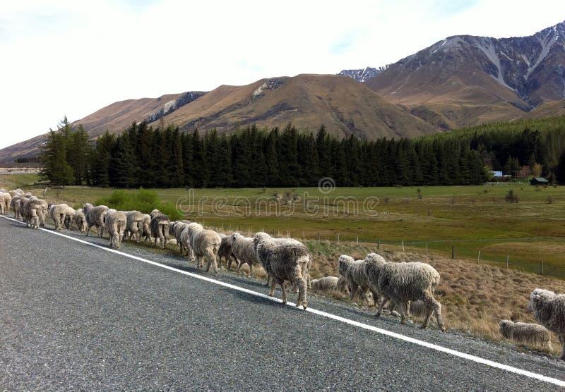 绵羊方式 库存图片