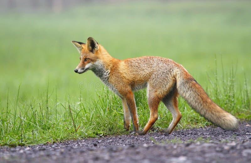 羊毛制狐狸 免版税库存照片
