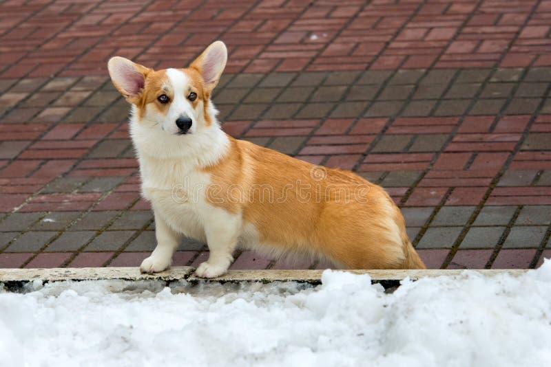 羊毛衫威尔士小狗和冬天 库存照片