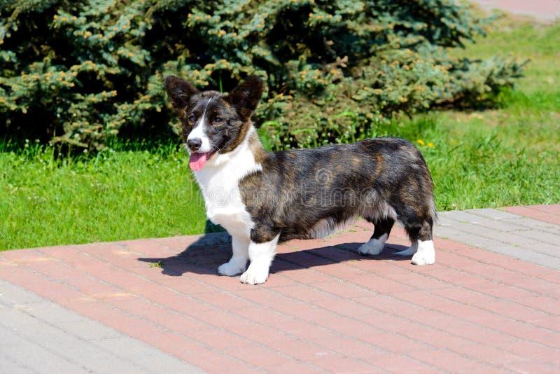 羊毛衫威尔士小狗在照相机看 免版税库存照片