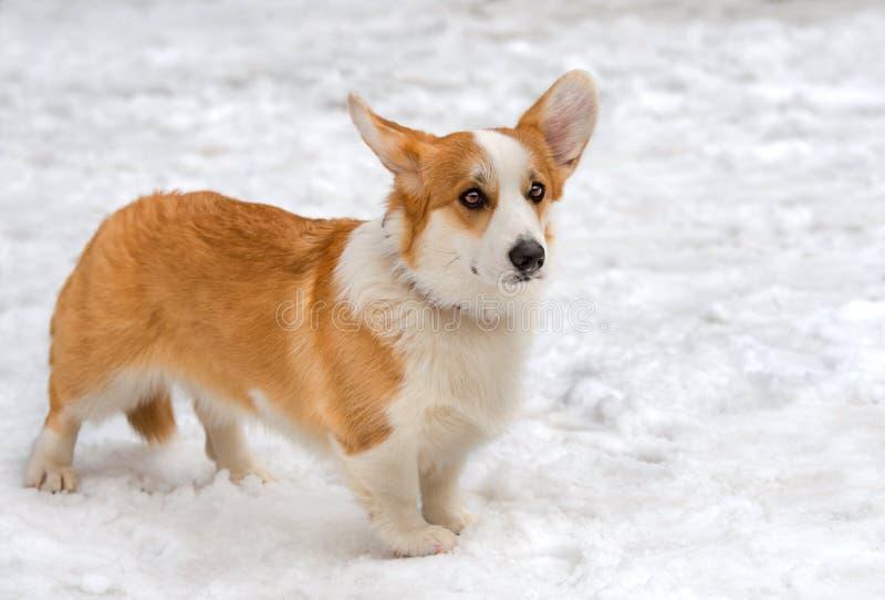 羊毛衫威尔士小狗 库存照片