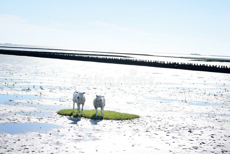 绵羊海岛 库存图片