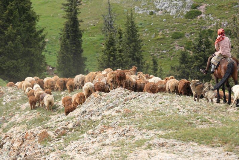 绵羊牧群在乡下 库存图片