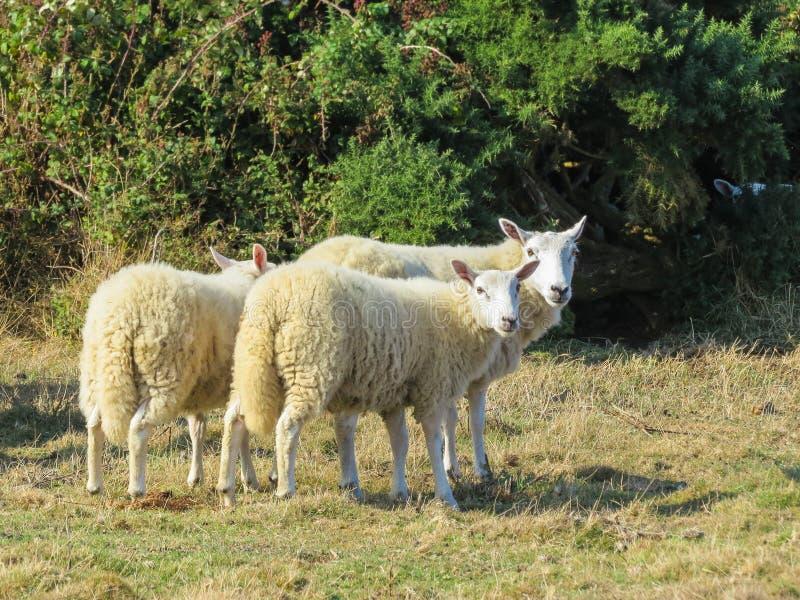 绵羊牧群在牧场地的 库存图片
