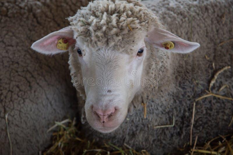 绵羊看 免版税库存图片