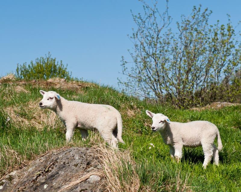 羊羔一点 库存图片